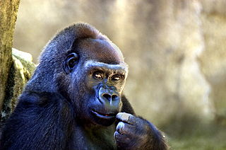 320px-Gorilla_063