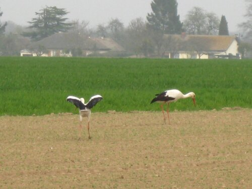 Cigognes au Fidelaire